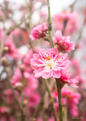 Plum Blossoms (Sinsee Ho) Tags: pink flowers flora chinesenewyear lunarnewyear plumblossoms