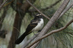 Willy Wagtail (Rodger1943) Tags: australianbirds williewagtail wagtails fz1000