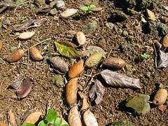 starr-091104-9051-Castanospermum_australe-fruit_on_ground-Kahanu_Gardens_NTBG_Kaeleku_Hana-Maui (Starr Environmental) Tags: castanospermumaustrale