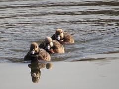 Three of a kind (Pixi2011) Tags: nature ducks