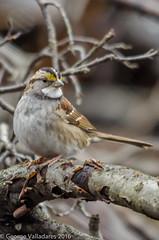 White-throated Sparrow (gvall66) Tags: sparrow whitethroatedsparrow lindennj newjerseyaudubon hawkrise