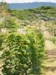 Village Farm & Winery Wang Nam Khiao Thailand - Winzer - (c) (hn.) Tags: copyright thailand vineyard asia asien heiconeumeyer seasia soasien southeastasia sdostasien wine pflanze vine winery grapevine viticulture wein copyrighted weinstock weinbau weinanbau vinestock winegrowing nakhonratchasima weinpflanze villagefarm villagefarmwinery wangnamkeaw wangnamkheow wangnamkhiao wangnamkhieo nakhonratchasimaprovince villagefarmandwinery chanwatnakhonratchasima wangnamkhiaodistrict wangnamkhiaowinery wangnamkhieowinery tp201516
