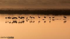 Flamencos al amanecer (arturomontes) Tags: light orange bird nature sunrise landscape flamingo paisaje amanecer cadiz flamenco parquenatural