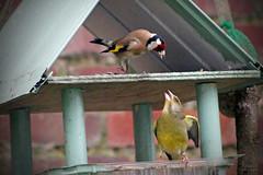 Chardonneret et Verdier (Mariie76) Tags: jaune rouge europe noir hiver vert maison oiseaux territoire bagarre carduelis mangeoire chloris verdier lgant chardonneret passereaux