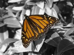 Mono Monarch (Stefanious) Tags: orange macro olympus monotone monarch sunlit