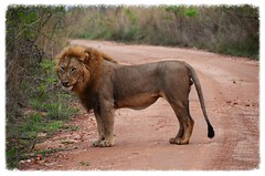DSC_3050 (Tartarin2009 (ion/off)) Tags: travel southafrica nikon wildlife lion thegalaxy d7000 tartarin2009 peregrino27life parkkrueger
