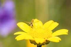 Schwebefliege auf gelber Blüte (thomaskappel) Tags: auf gelber schwebefliege blte