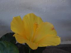 DSC02998 (omirou56) Tags: flower yellow garden outdoor greece 43 ελλαδα λουλουδι κιτρινο κηποσ ιβισκοσ sonydschx9v