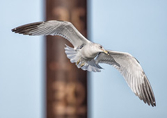 Gull (Jan Crites) Tags: bird nature outdoors gull iowa mississippiriver leclaire lockanddam14 jancritesphotography