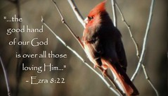 Ezra 8:22 (rdedks2011) Tags: bird jw cardinal bible scripture redbird jehovahswitnesses scripturecard
