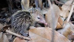 Petit tenrec (Ji-) Tags: france reunion animal fauna island indianocean fujifilm fujinon le faune larunion tenrec ocanindien tangue xt1 ecaudatus entredeux xf16mmf14wr