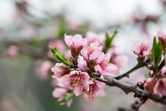 sure sign (long.fanger) Tags: plumblossoms