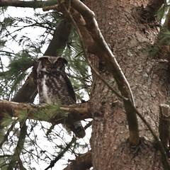 Great Horned Owl On A Blustery Morning (Bill Bunn) Tags: maine falmouth greathornedowl