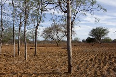 Mukau trees flower and grow on farms hit by drought (World Bank Photo Collection) Tags: africa trees landscape kenya forestry soil drought agriculture arid worldbank