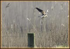 (S)he's off (mistagain1 (Working away catch up soon)) Tags: uk england march spring nikon hawk earlymorning somerset gb kestrel birdofprey kez 2016 sigma70200f28 14tc southwestengland britishbird birdofbritain britishbirdofprey d7200