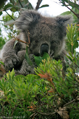 Koala's food (boze610 [ free tibet ] [in giro per il mondo]) Tags: wild cute green nature mammal colours natural eating wildlife naturallight australia natura eat koala greatoceanroad marsupial colori koalabear capeotway naturalmente greatphotographers mammifero canoneos400d wildlifeofaustralia marsupiale groccaphoto