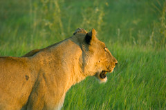 A Good Evening to Hunt (oldoinyo) Tags: africa grass lion pride safari predator okavango pantheraleo