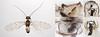 Ectopsocus briggsi (male) (Martin Cooper Ipswich) Tags: male water insect suffolk microscope ipswich genitalia psocid psocoptera barklice tubercules barkfly ectopsocus ectopsocusbriggsi briggsi clunium taxonomy:binomial=ectopsocusbriggsi clunialmargin