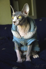Increase. (yuly9751) Tags: cats digital canon spring kitten esfinge babycat spynx sephy gatocalvo spynxcat