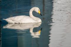 Cisne vulgar (Cignus cignus) (Eduardo Mena U.) Tags: espaa valencia familia es orden oceanografic valncia comunidadvalenciana cisnevulgar especiecygnuscygnus