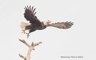 Bald Eagle Prepare for Landing