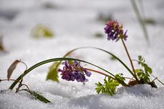 Unexpected spring snowstorm. (cosovan.vadim) Tags: snow flower macro field spring nikon dof bokeh outdoor snowstorm sigma d750 70300mm depth unexpected