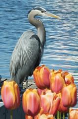 Heron with Tulips DSC04298 (BountifulJohn) Tags: heron water tulips winner 100400 a6300