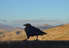 Belea (Erre Taele) Tags: fuerteventura islascanarias canariarirlak ravencuervopajaraislaislandcanarianislands