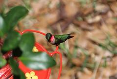 IMG_7243_male ruby-throated hummingbird (nbc_2011) Tags: bird nature hummingbird florida animalplanet rubythroatedhummingbird planetearth northwestflorida malerubythroatedhummingbird