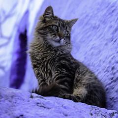 Medina-Chefchaouen-cats-1 (Jeremie Doucette) Tags: cats cat morocco medina chefchaouen bluecity rifmountains bluetown