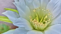 Morning beauty (Blas Torillo) Tags: naturaleza flower macro nature beauty mxico mexico nikon flor puebla belleza macrophotography professionalphotography macrofotografa fotografaprofesional mexicanphotographers d5200 fotgrafosmexicanos nikond5200
