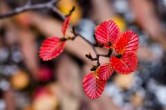 Fagus (glendamaree) Tags: autumn macro nature tasmania fagus deciduousbeech discovertasmania