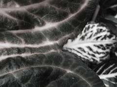 Master & servant (ix 2015) Tags: plants texture textura mxico garden mexico plantas dof pov pdf cuernavaca vegetal morelos jardn israfel67