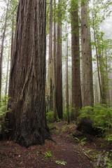 Avenue of Giants (Joshua Johnston Photography) Tags: california trees forest redwoods redwoodnationalpark canon6d joshuajohnston
