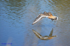 04_24_16_8003 (batty9a) Tags: reflection bird water birds reflections flying nikon outdoor killdeer waterbird nikkor geauga nikond5200