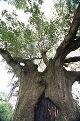Canon206502 (godrudy6661) Tags: neworleans audubonpark treeoflife oaktrees