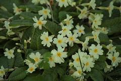 Rainy Day Primroses #1 (Henry Hemming) Tags: flowers wet leaves rain yellow damp primroses