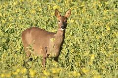 Roe Deer (charlie.syme) Tags: park newcastle nikon doe deer roe gosforth