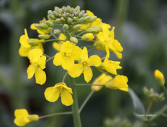 07-IMG_9900 (hemingwayfoto) Tags: energie landwirtschaft feld gelb blte raps blhen bruchriede