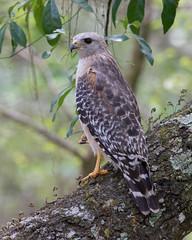 Red-Shouldered Hawk (PeterBrannon) Tags: bird nature florida hawk wildlife raptor birdofprey redshoulderedhawk buteolineatus hillsboroughcounty rsha