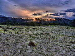 Scattered foliage in the sand (elphweb) Tags: plants sand cloudy sandy australia foliage hdr coastalgroundcover