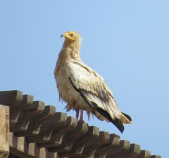 Egyptian Vulture 2 (tom_2014) Tags: wild bird nature ecology birds animal wildlife uae middleeast raptor egyptian vulture endangered carrion alain unitedarabemirates biodiversity avifauna neophron percnopterus jebelhafeet neophronpercnopterus egyptianvulture