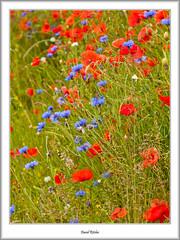 Roadside Red, White & Blue (flatfoot471) Tags: summer plant nature scotland unitedkingdom poppy normal lanarkshire 2015 southlanarkshire elsricke