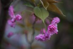 (juli_ei) Tags: canon cherry spring blossom bokeh rosa sakura blte baum nahaufnahme frhling 6d kirschblte eos6d offenblende ef100mmf28lmacroisusm