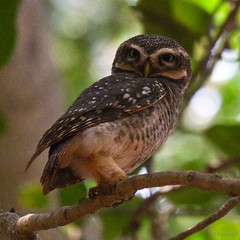 Spotted owlet of Auroville (Ignati) Tags: india tree bird animal owl wildanimal tamilnadu auroville owlet spottedowlet athenebrama