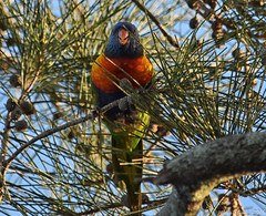 Rainbow Lorikeet (Merrillie) Tags: nature birds animals fauna nikon wildlife lorikeet australia nsw rainbowlorikeet woywoy d5500 nswcentralcoast centralcoastnsw woywoywaterfront