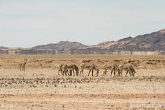 Namibia 3_2692_edited-1 (arx7) Tags: africa desert wildlife dunes scenic zebra antelope destination savannah namibia oryx springbok solitaire windhoek swakopmund walvisbay anant herero skeletoncoast damara tropicofcapricorn weaverbird bantu namibdesert naukluft subsaharan namibnaukluft raut anantrautorg anantraut republicofnamibia republiknamibia anantrautcom republiekvannamibie