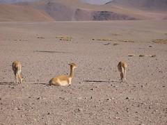 Chili ,dsert d'Atacama (Micheline Canal) Tags: chile animal landscape chili geyser animaux oiseau dsert pysage desert dsertdatacama ameriquedusud