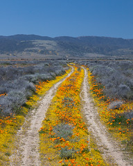 Road to Nowhere (Jeffrey Sullivan) Tags: california road park flowers copyright usa jeff nature canon landscape photo losangeles spring desert state nowhere reserve dirt valley poppy poppies antelope lancaster april lonely wildflowers sullivan southerncalifornia antelopevalley mojavedesert losangelescounty 2011 unpaved jeffsullivan