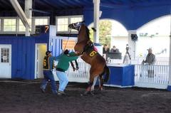 2016-01-03 (28) r3 #6 Humorous Chant (JLeeFleenor) Tags: photos photography md marylandracing marylandhorseracing horses thoroughbreds equine equestrian cheval cavalo cavallo cavall caballo pferd paard perd hevonen hest hestur cal kon konj beygir capall ceffyl cuddy yarraman faras alogo soos kuda uma pfeerd koin حصان кон 马 häst άλογο סוס घोड़ा 馬 koń лошадь paddock dance dancers maryland
